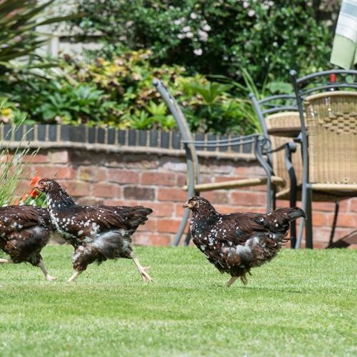Chickens at Shropshire Bed and Breakfast Accommodation